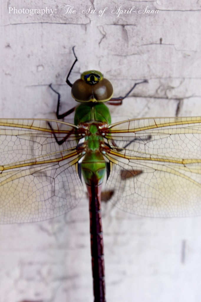 dragonfly IMG_9675 web